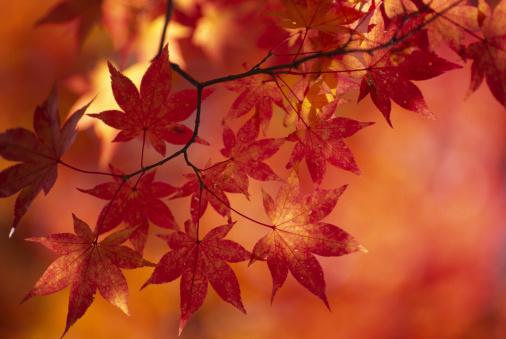 紅葉「秋の落ち葉」:スマホ壁紙(19)