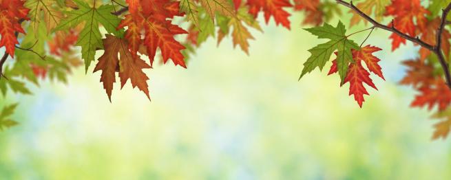 かえでの葉「秋の葉のパノラマ」:スマホ壁紙(8)