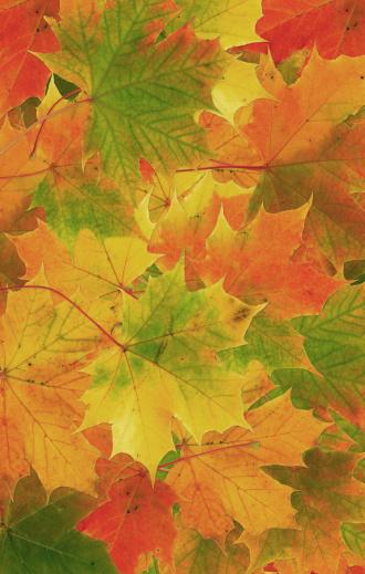 セイヨウカジカエデ「マルチカラーの秋の葉のバックグラウンド」:スマホ壁紙(10)