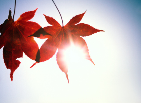 Japanese Maple「Autumn leaves with sun behind」:スマホ壁紙(16)