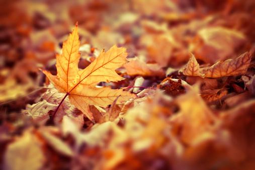 紅葉「秋の落ち葉」:スマホ壁紙(15)