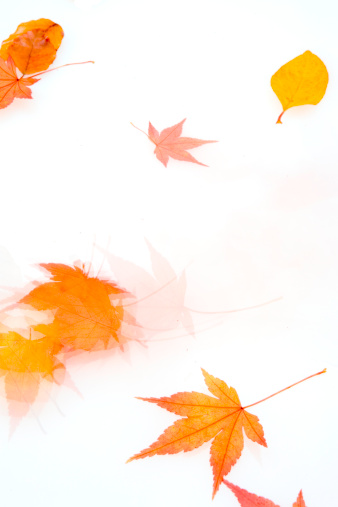 Japanese Maple「Autumn leaves blowing across a white background」:スマホ壁紙(8)