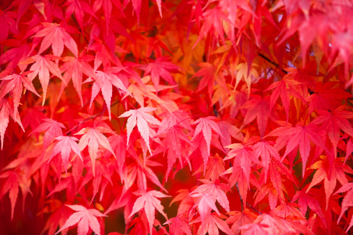Japanese Maple「Autumn Leaves」:スマホ壁紙(18)