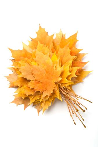 セイヨウカジカエデ「秋の落ち葉」:スマホ壁紙(8)