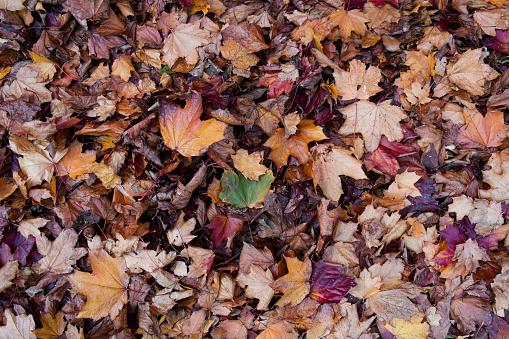 セイヨウカジカエデ「Autumn leaves」:スマホ壁紙(16)