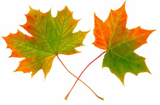 セイヨウカジカエデ「秋の落ち葉」:スマホ壁紙(5)