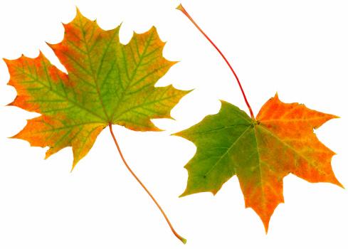 セイヨウカジカエデ「秋の落ち葉」:スマホ壁紙(7)