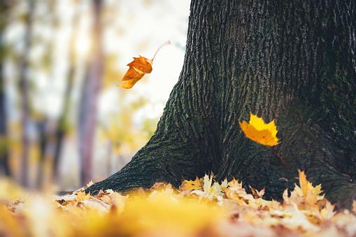 Thanksgiving「秋の木から落ちていく葉」:スマホ壁紙(19)