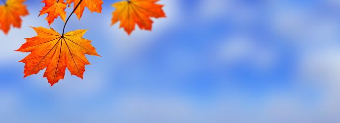紅葉「秋の葉の XXXL パノラマ」:スマホ壁紙(18)