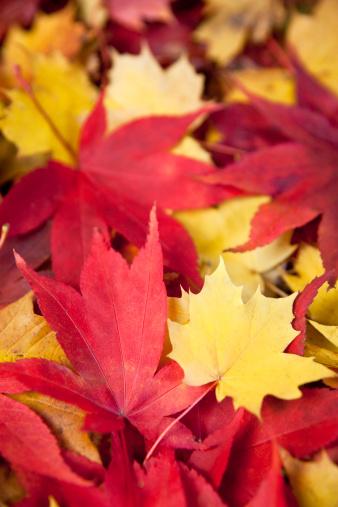 セイヨウカジカエデ「秋の落ち葉」:スマホ壁紙(3)