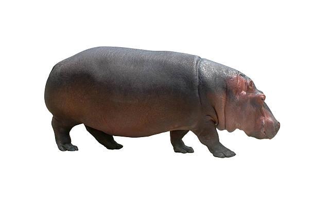 Hippo on white:スマホ壁紙(壁紙.com)