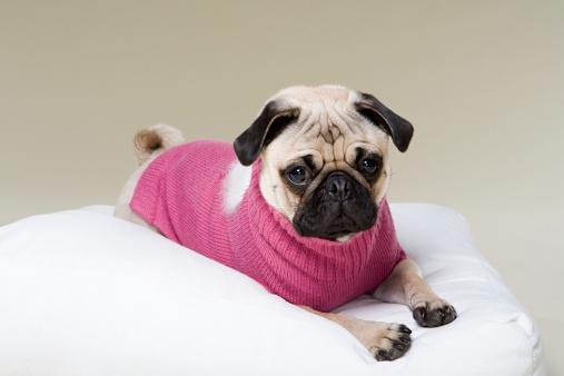 Sweater「Pug」:スマホ壁紙(16)