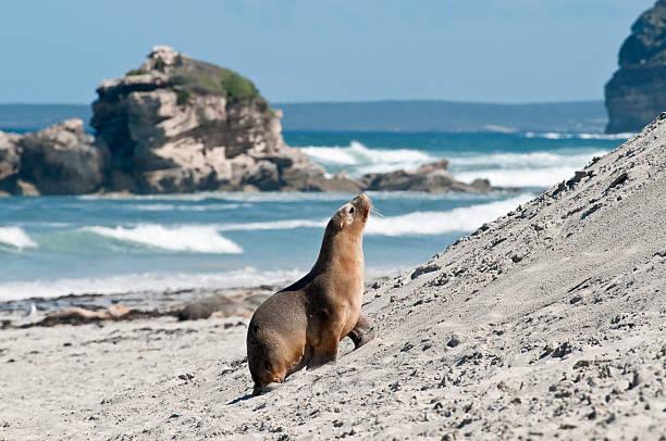 Seals (sea lions) in Seal Bay Conservation Park.:スマホ壁紙(壁紙.com)