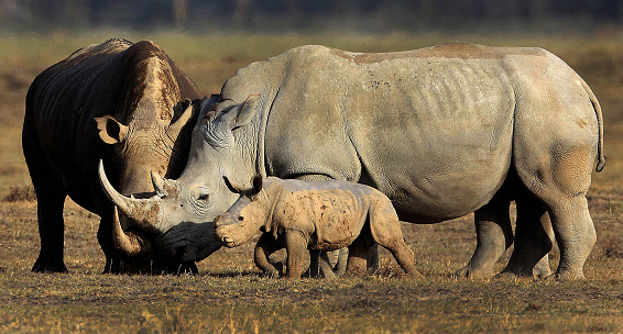 Endangered Species「Rhino with Baby」:スマホ壁紙(13)