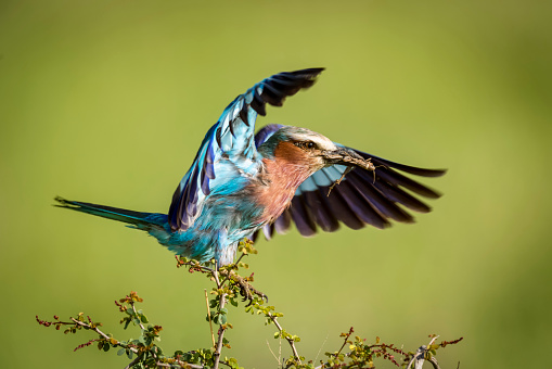 Landing - Touching Down「Lilac-breasted roller (Coracias caudatus) lands on branch carrying grasshopper, Serengeti National Park,」:スマホ壁紙(7)