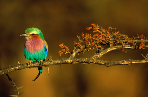 Lake Bogoria National Park「Lilac-breasted roller on branch in early morning light, close-up」:スマホ壁紙(12)