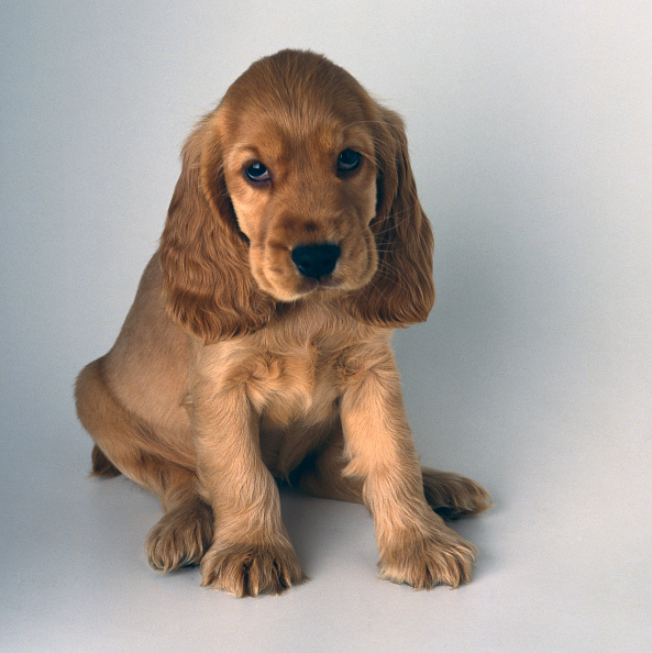 Cute「Cocker Spaniel Puppy」:写真・画像(5)[壁紙.com]