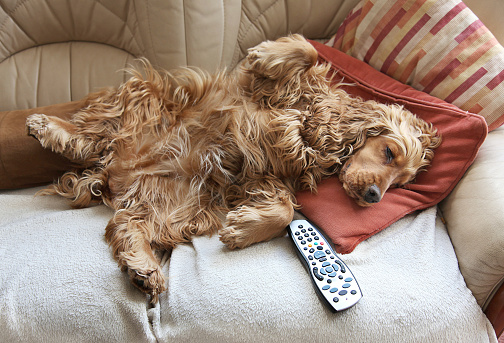 Animal Themes「Cocker Spaniel relaxing in front of TV」:スマホ壁紙(1)