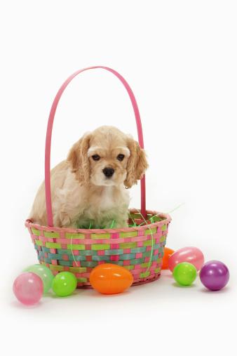 Easter Basket「Cocker spaniel puppy in Easter basket」:スマホ壁紙(4)