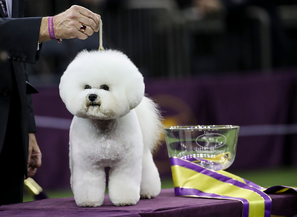 Bestpix「Annual Westminster Dog Show Takes Place In New York City」:写真・画像(4)[壁紙.com]