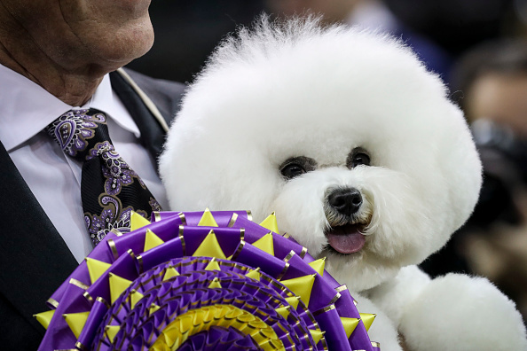 Decisions「Annual Westminster Dog Show Takes Place In New York City」:写真・画像(12)[壁紙.com]