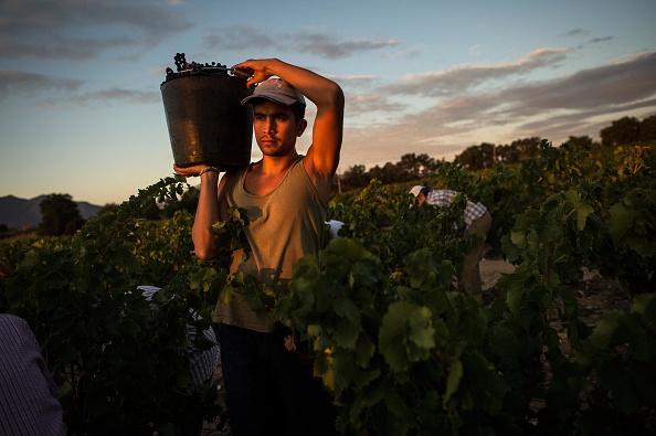 Languedoc-Rousillon「Spanish Emigrants Travel To Perpignan For French Wine Harvest」:写真・画像(4)[壁紙.com]