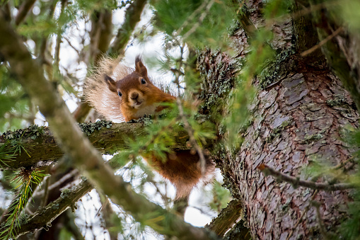 Eurasian Red Squirrel「Scotland, red squirrel, Sciurus vulgaris」:スマホ壁紙(12)