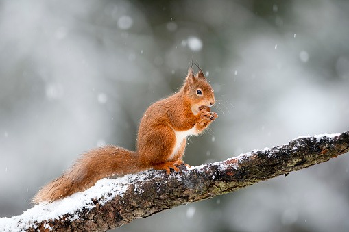 Squirrel「UK, Scotland, Red squirrel(Sciurusvulgaris)feeding on tree branch in winter」:スマホ壁紙(12)