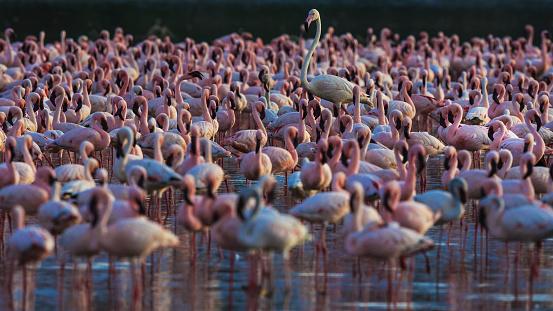 Lake Bogoria National Park「Surrounded by hundreds of lesser flamingos」:スマホ壁紙(17)