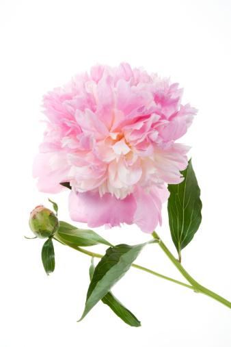 Blossom「Peony, close-up」:スマホ壁紙(2)