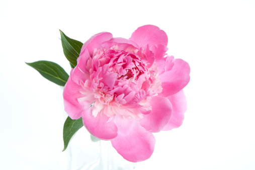 Peony「Peony, close-up」:スマホ壁紙(12)