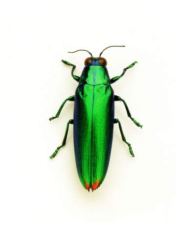 ガラス「Green tiger beetle」:スマホ壁紙(6)