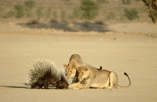 Animals Hunting「lion panthera leo attacking porcupines south africa」:スマホ壁紙(5)