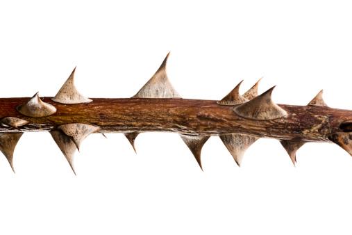 Branch - Plant Part「Thorn Twig」:スマホ壁紙(15)