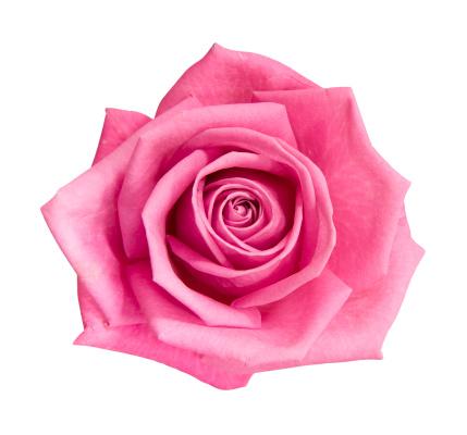 薔薇「パーフェクトなピンクのバラ」:スマホ壁紙(2)