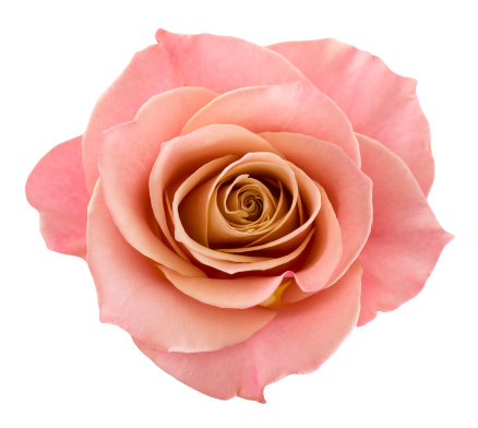 花「パーフェクトなピンクのバラ」:スマホ壁紙(19)