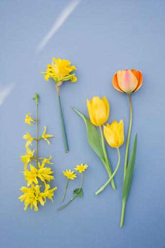 チューリップ「Forsythia, daffodil and tulips」:スマホ壁紙(8)