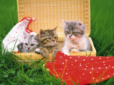 Kitten「Three Kittens Sitting in a Basket, Surrounded By Grass, Looking in Different Directions, Differential Focus」:スマホ壁紙(5)