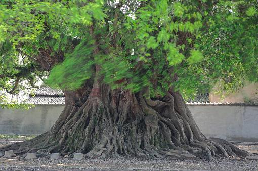 Fig「Big tree」:スマホ壁紙(4)