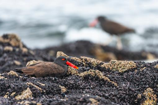 Falkland Islands「Blackish oystercatcher (Haematopus ater)」:スマホ壁紙(18)