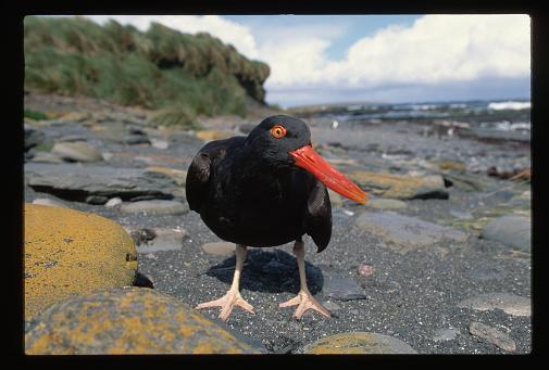 Falkland Islands「Blackish Oystercatcher」:スマホ壁紙(11)