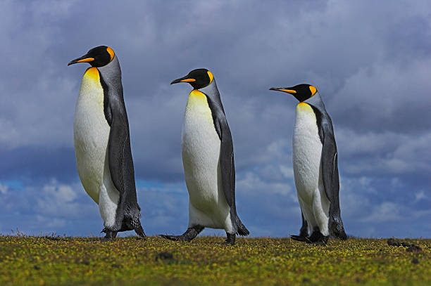 Three king penguins (Aptenodytes patagonicus) in line, close-up:スマホ壁紙(壁紙.com)