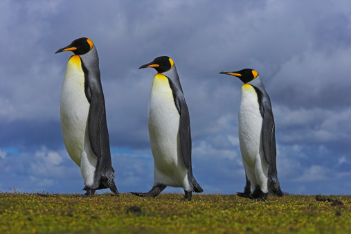 Falkland Islands「Three king penguins (Aptenodytes patagonicus) in line, close-up」:スマホ壁紙(19)