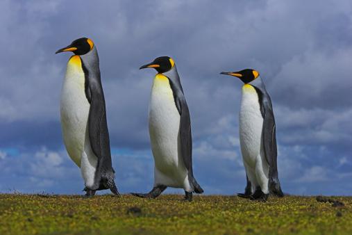 Falkland Islands「Three king penguins (Aptenodytes patagonicus) in line, close-up」:スマホ壁紙(5)