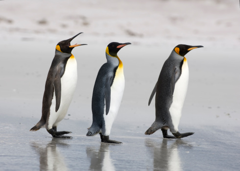 Falkland Islands「Three King Penguins on a beach」:スマホ壁紙(14)