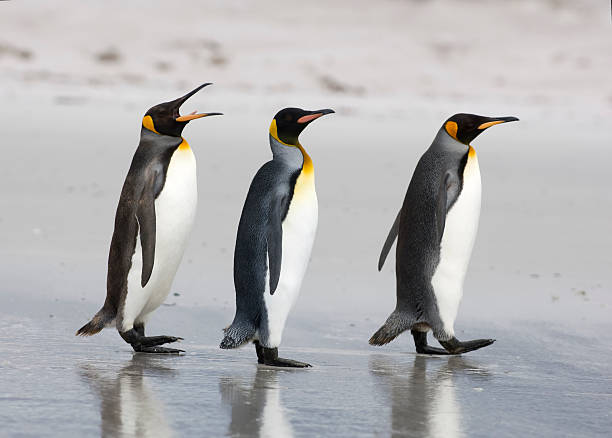 Three King Penguins on a beach:スマホ壁紙(壁紙.com)