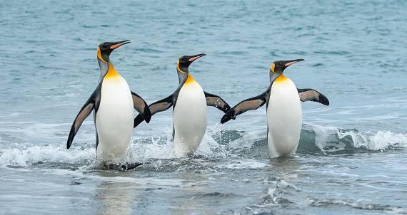 King - Royal Person「Three King Penguins in the sea of South Georgia」:スマホ壁紙(15)
