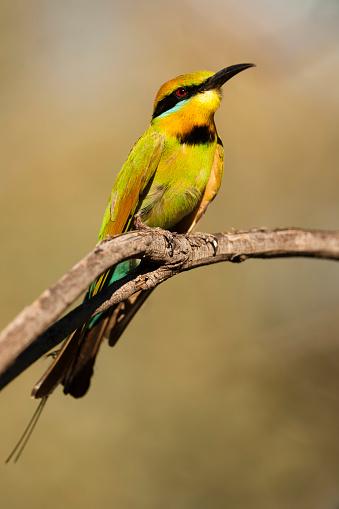 Birds「Rainbow bee-eater (Merops ornatus)」:スマホ壁紙(16)