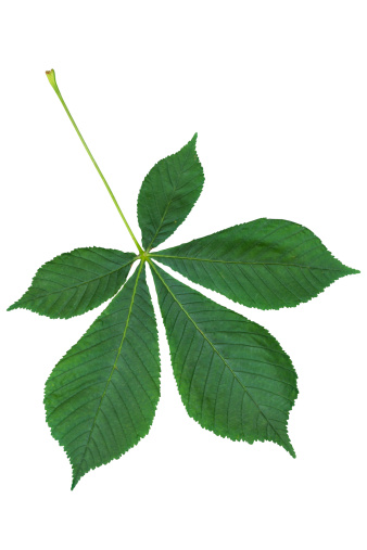 Chestnut Tree「Chestnut leaf isolated on white with clipping path」:スマホ壁紙(5)