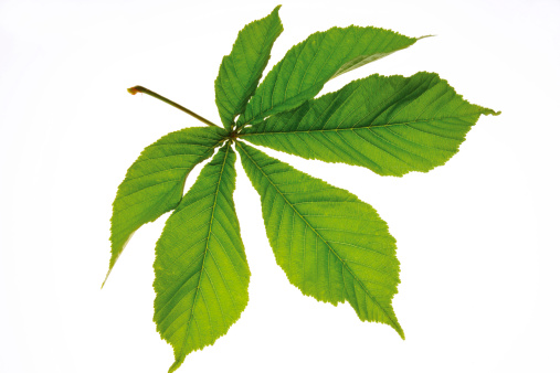 Chestnut Tree「Chestnut leaf (Aesculus hippocastanum), close-up」:スマホ壁紙(4)